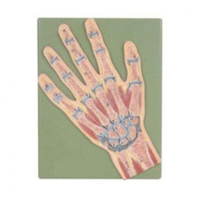 手关节剖面模型 YJ/G0068