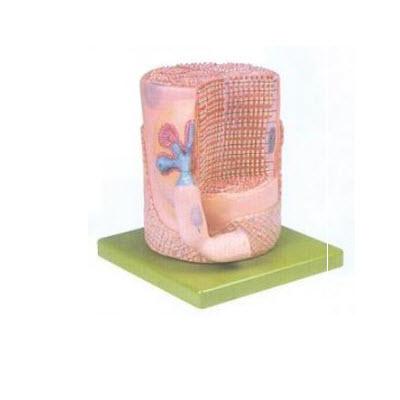 骨骼肌纤维与运动终板放大模型 YJ/G0084