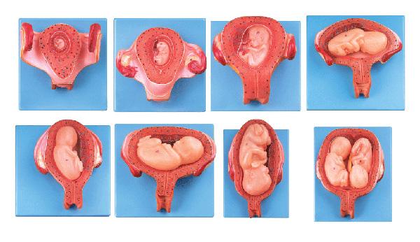 胎儿(胚胎)妊娠发育过程模型 JX/A42005