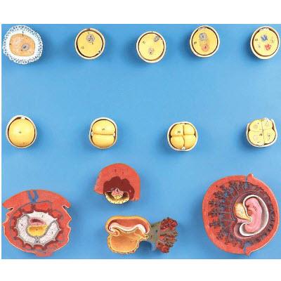 受精与初期胚胎发育过程模型 YJ/ZZ2003